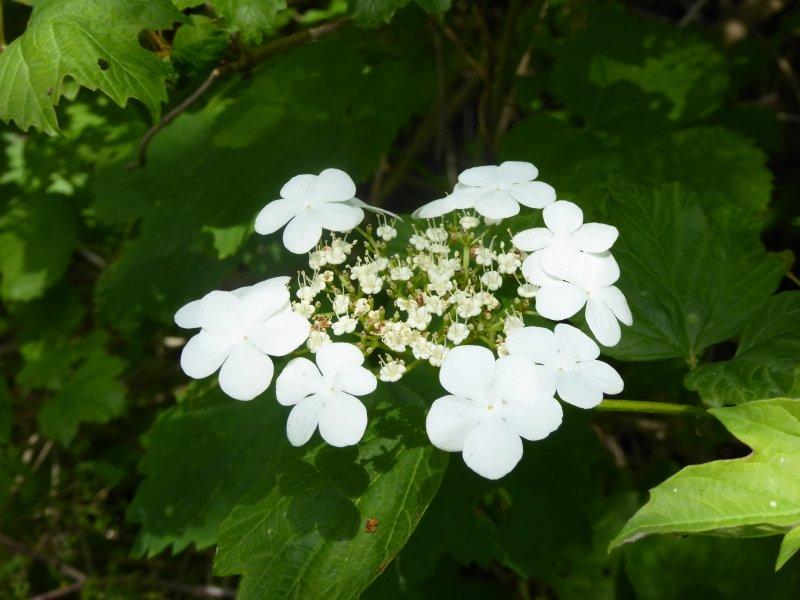 - kwiat_kaliny_koralowej.jpg